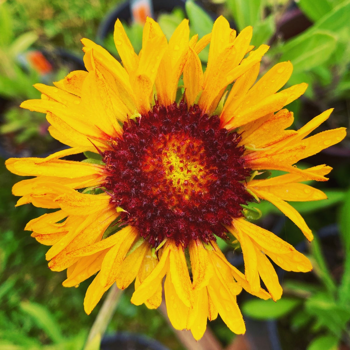 Blanketflower: Gaillardia aristata