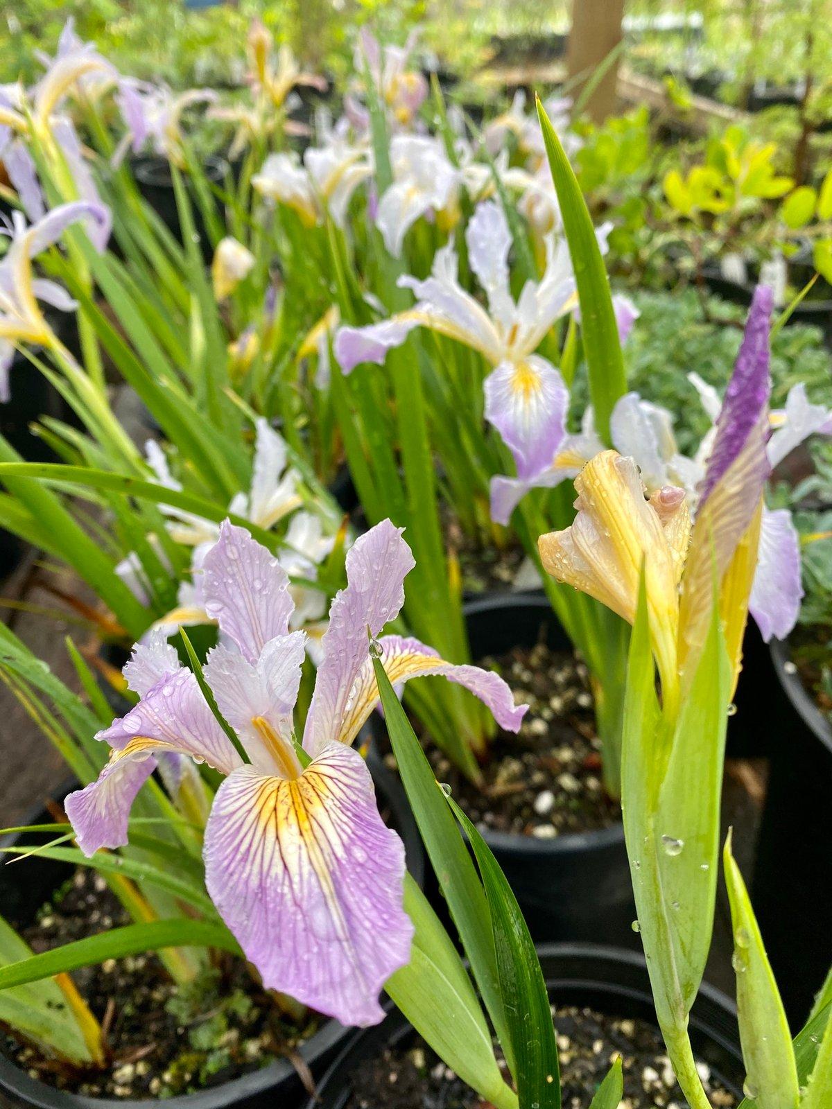 Douglas Iris : Iris douglasiana