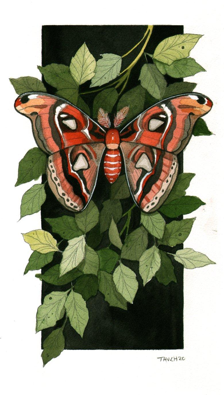 Image of Atlas Moth