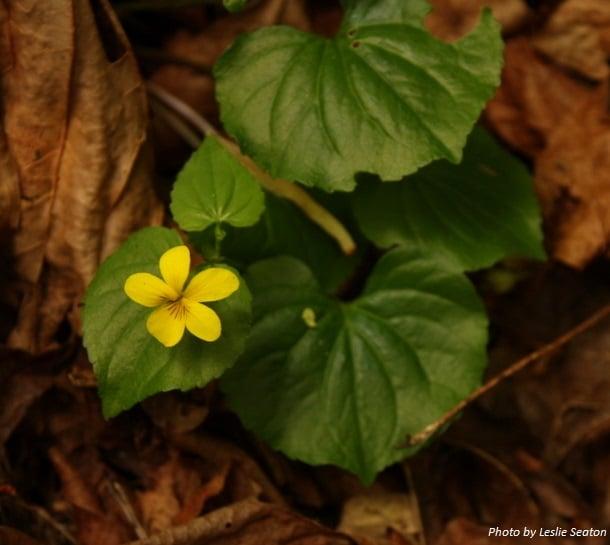 Redwood Violet: Viola sempervirens