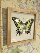 Image 3 of Framed Swallowtail Print