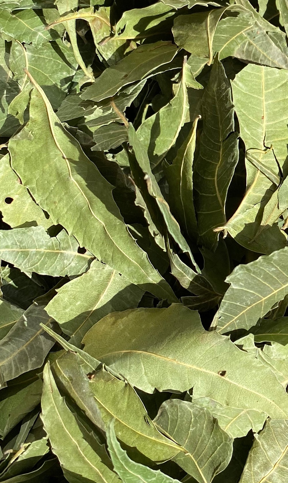 Image of Neem Leaf