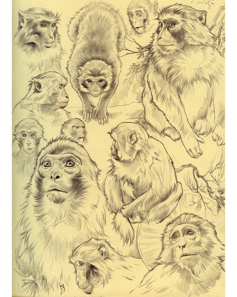 Image of Macaque Studies