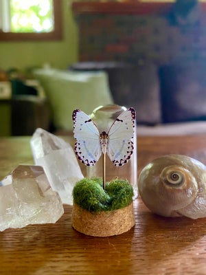Image of Glass Butterfly or Moth Dome #6