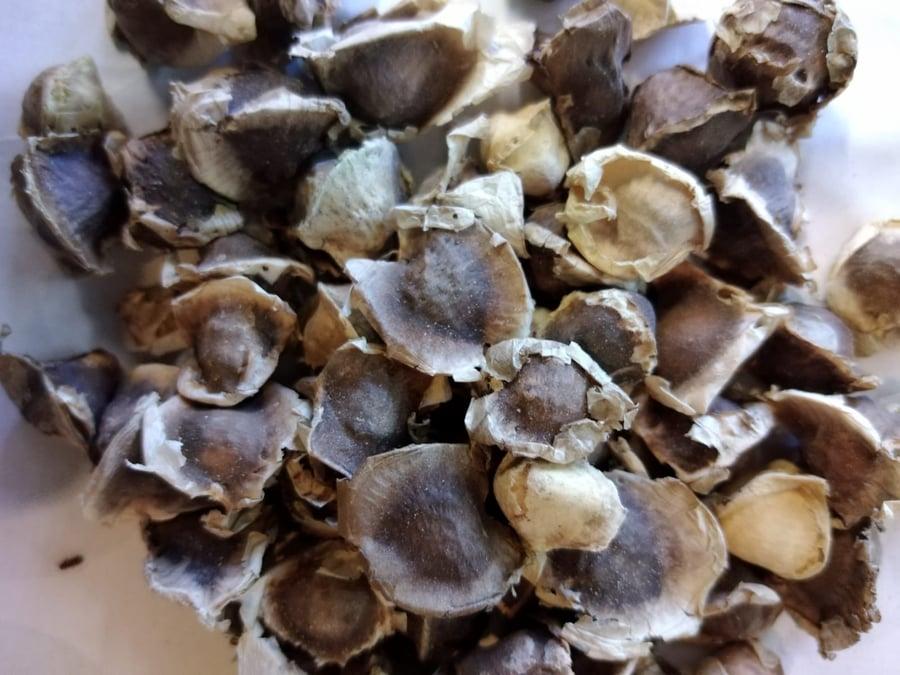 Image of Moringa Seeds