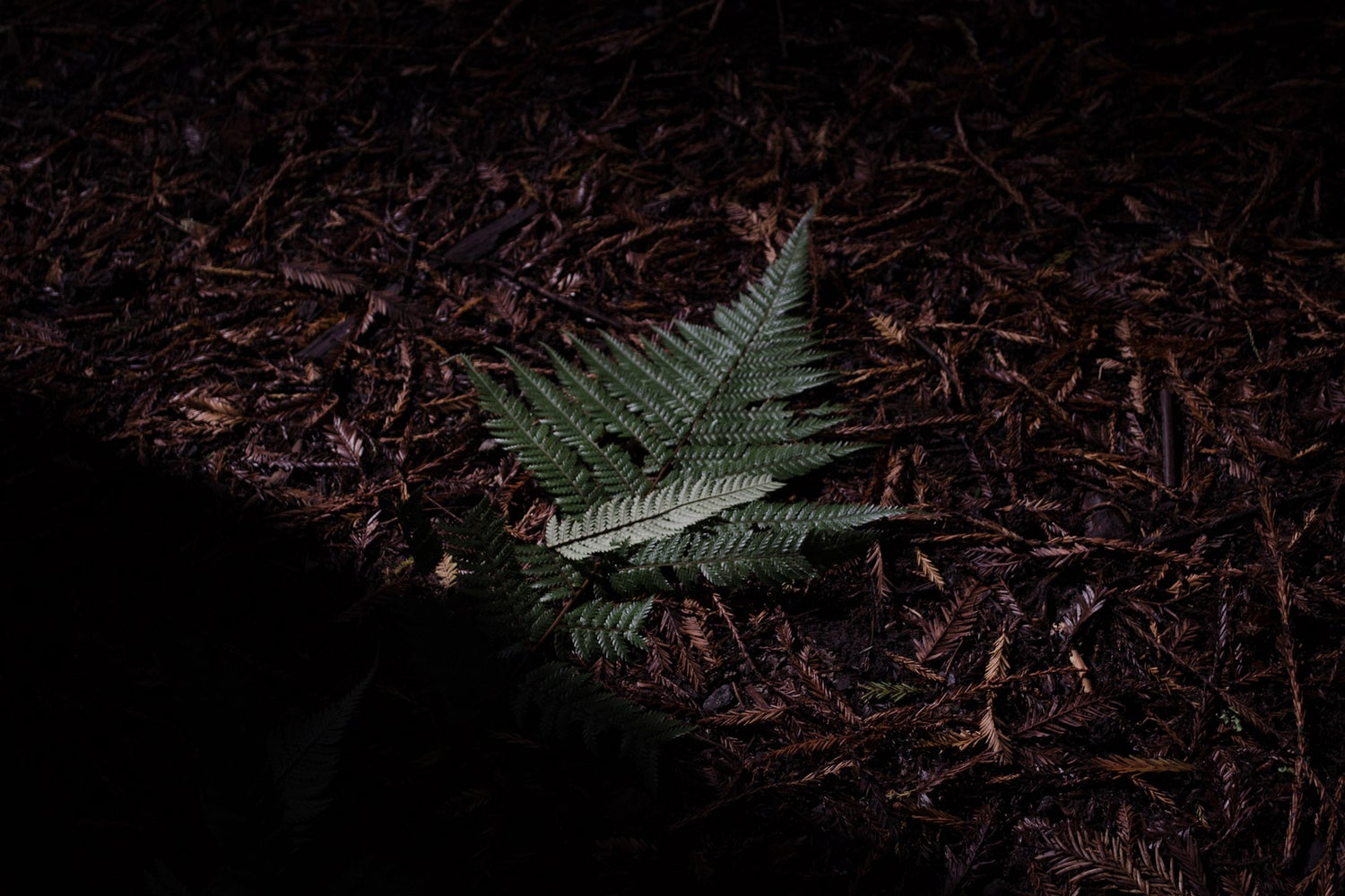 Image of White Fern (NZ)