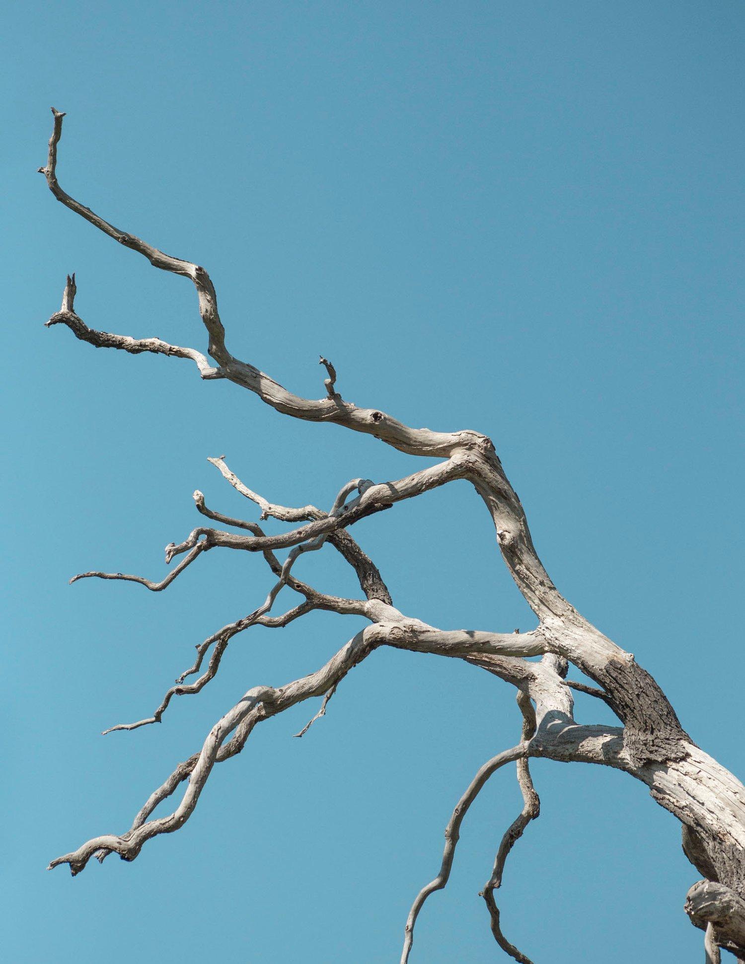 Image of Skeleton Tree