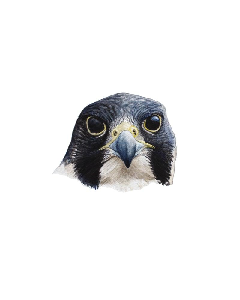 "Image of 11x14"" Limited Giclee Print: Peregrine Falcon Headshot"