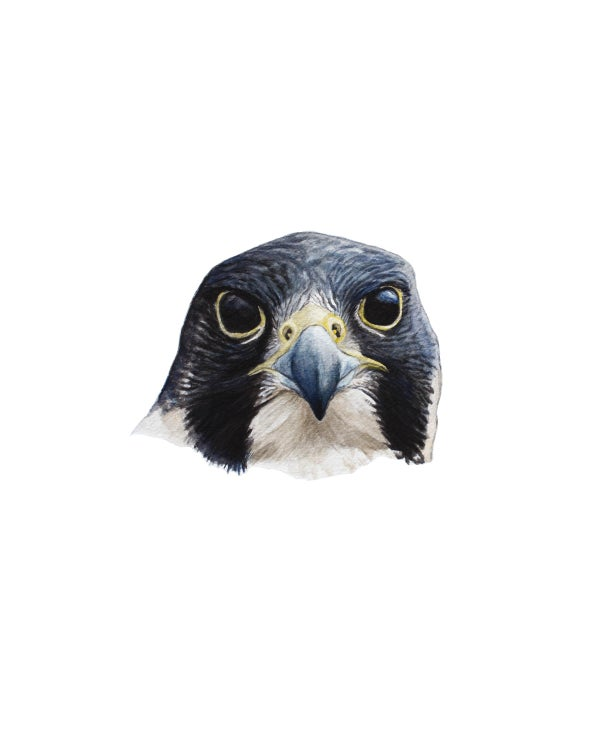 "Image of 11x14"" Limited Giclee Print: Peregrine Falcon Headshot"