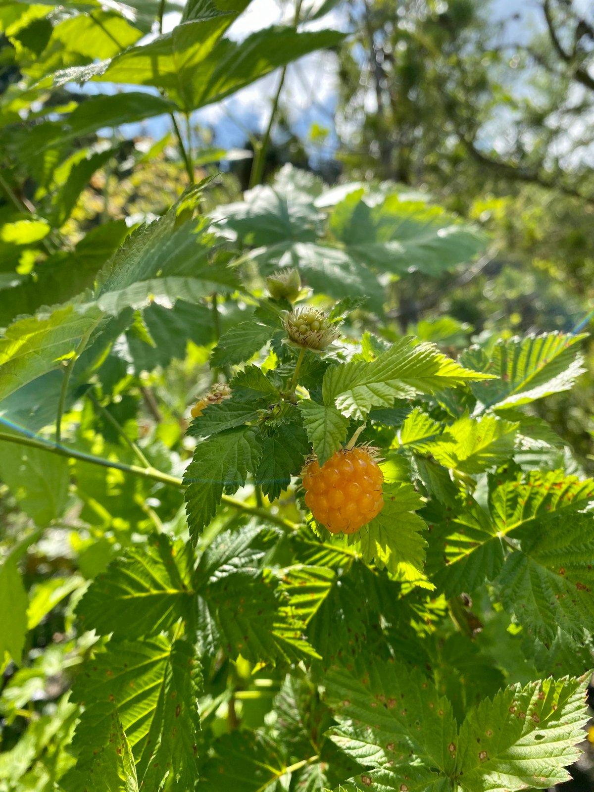Salmonberry: Rubus spectabilis