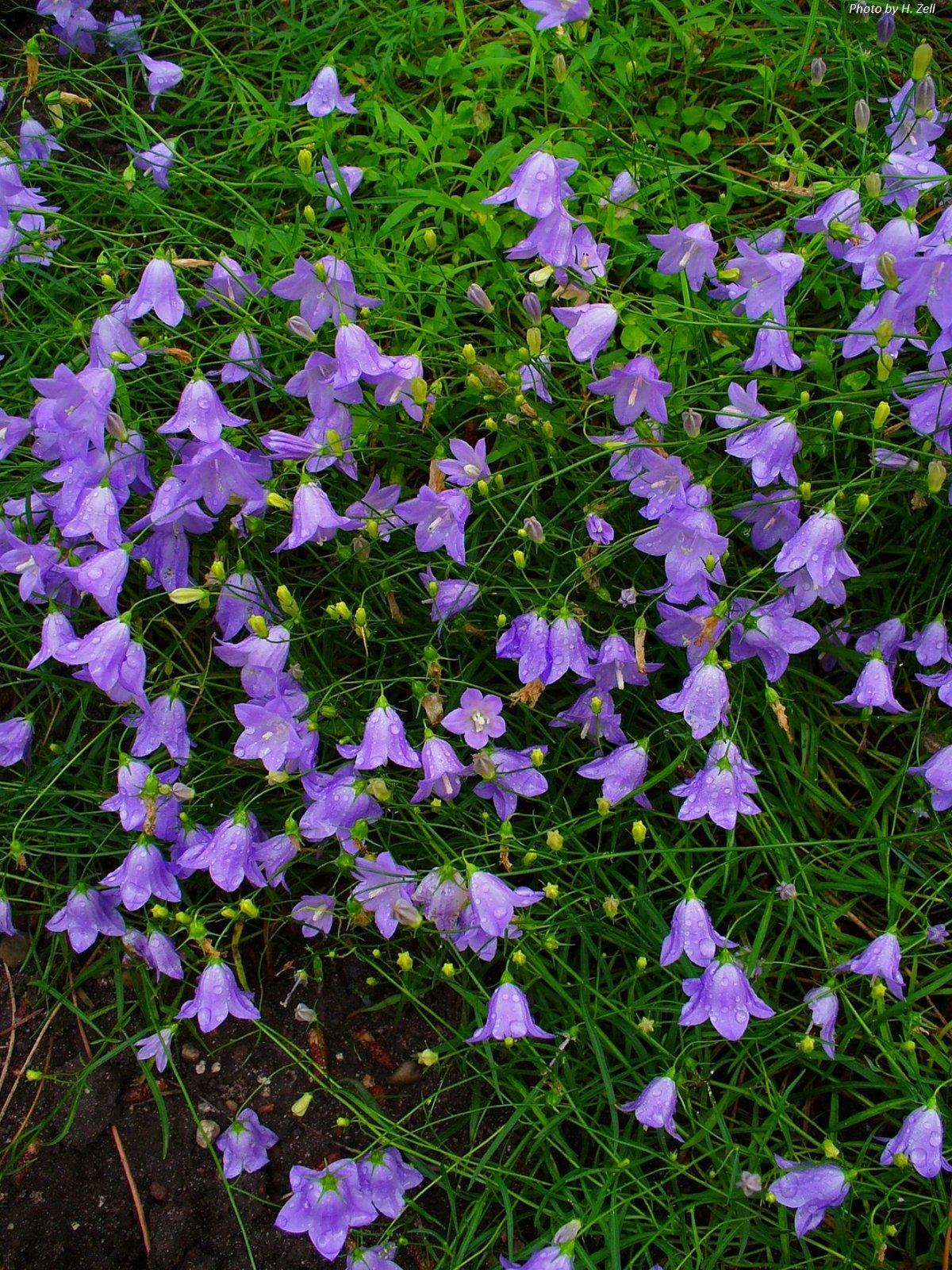 Bluebells or Harebells : Campanula rotundifolia