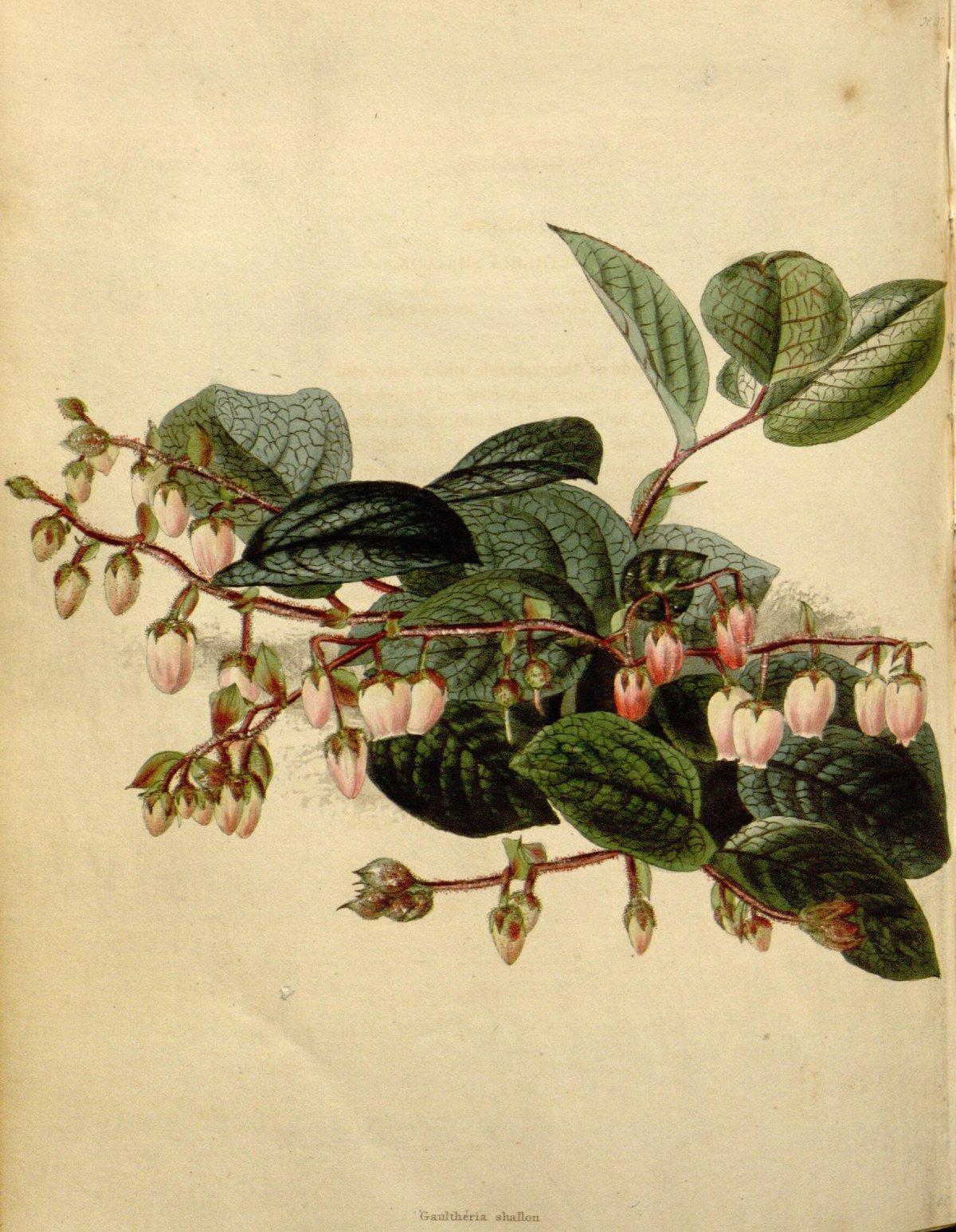 Salal : Gaultheria shallon