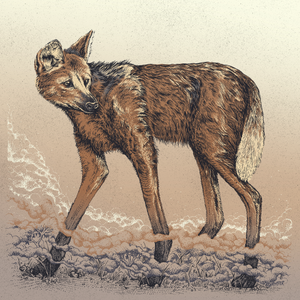 Maned Wolf  in Colour