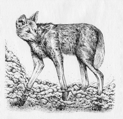 Image of Maned Wolf black and white