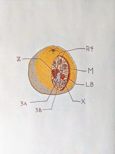 Image of Orange Anatomy