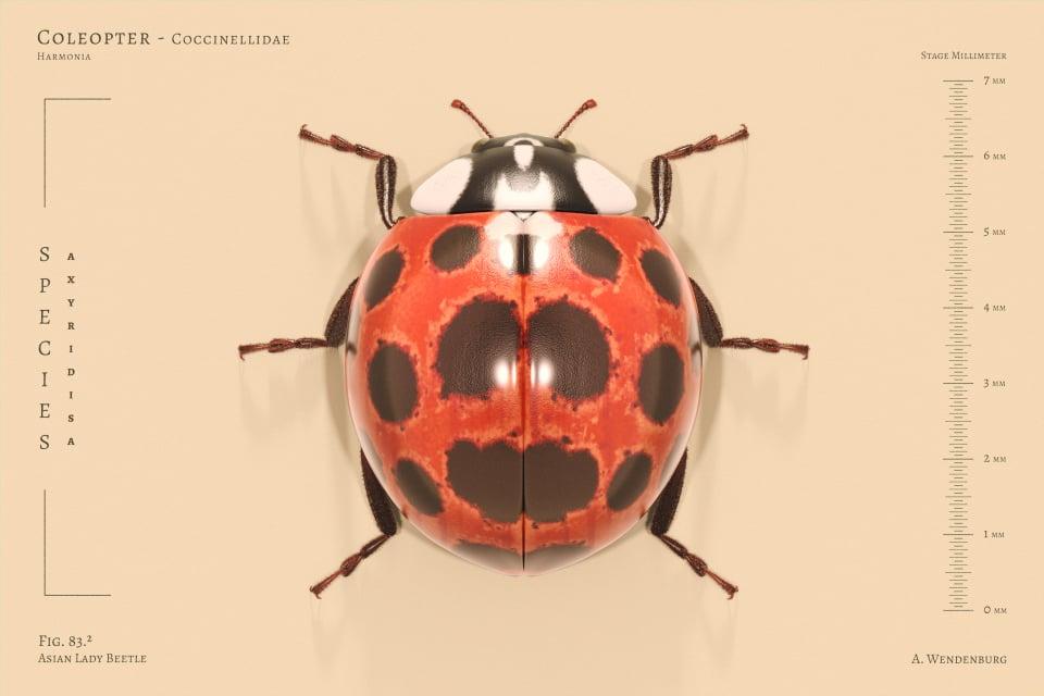 Image of Asain Lady Beetle