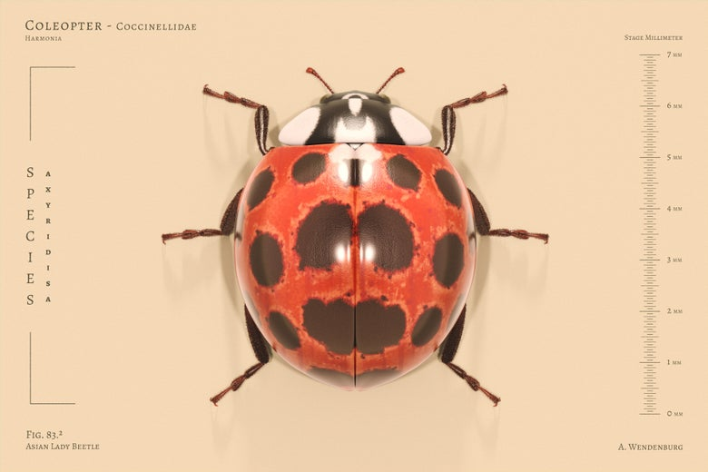 Image of Asain Lady Beetle