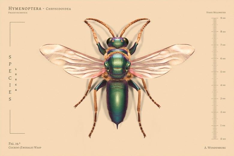 Image of Emerald (Cuckoo) Wasp