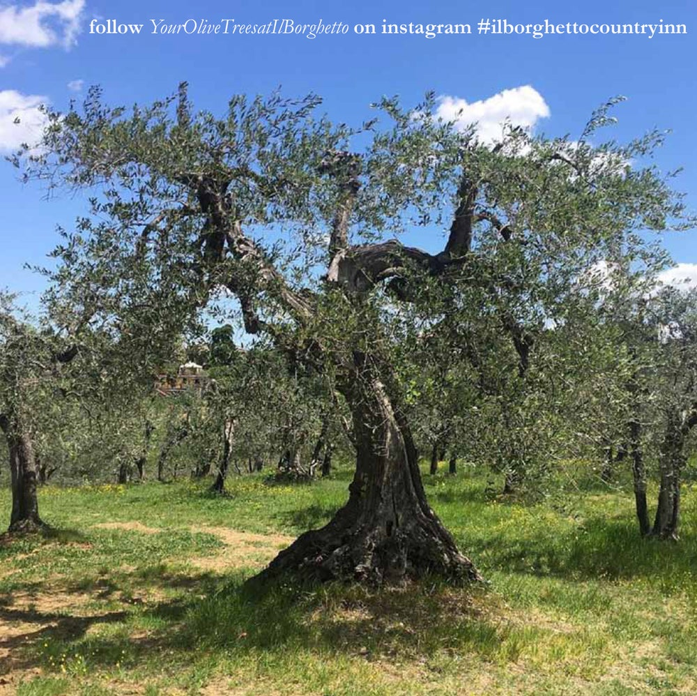 Image of I tuoi Olivi Biologici al Borghetto / Your Organic Olive Trees at Il Borghetto