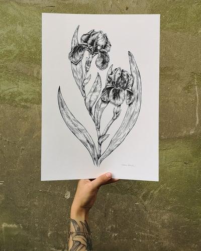Image of Iris Flower