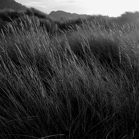 Image of Marram