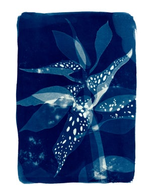 Spotted Begonia Print - Limited Edition
