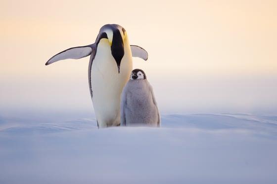 Image of Penguin Fine Art Greeting Cards