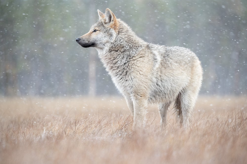 Image of Wolf Fine Art Greeting Cards