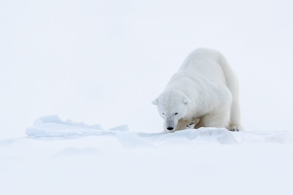 Image of Polar Bear Fine Art Greeting Cards