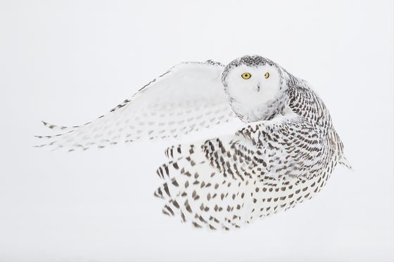 Image of Snowy Owl Fine Art Greeting Cards