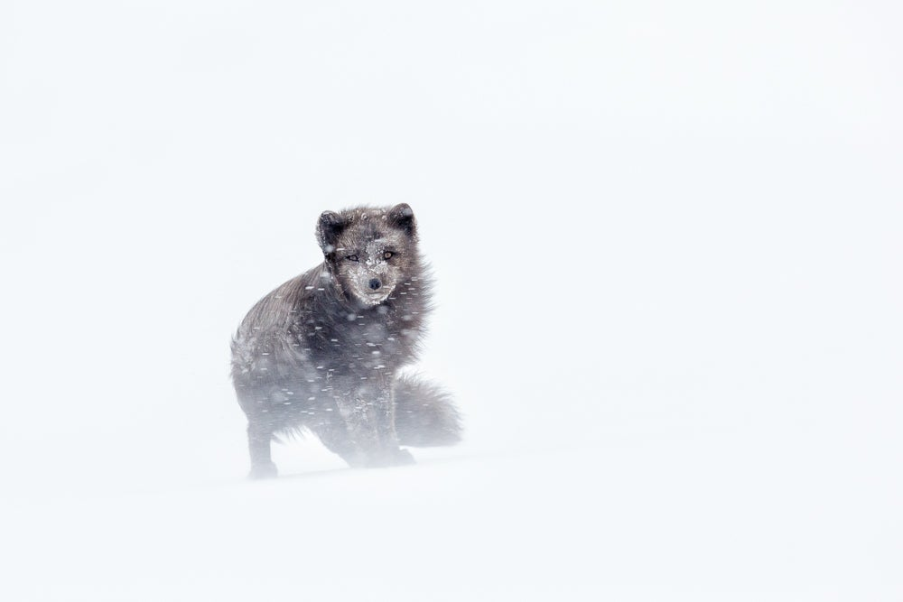 Image of Arctic Fox Fine Art Greeting Cards