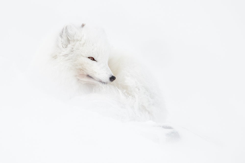 Image of Arctic Fox Fine Art Greeting Cards