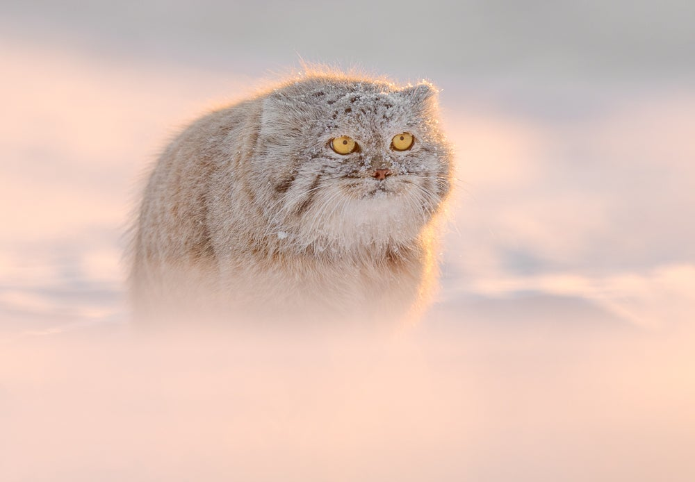 Image of Pallas Cat Fine Art Greeting Cards