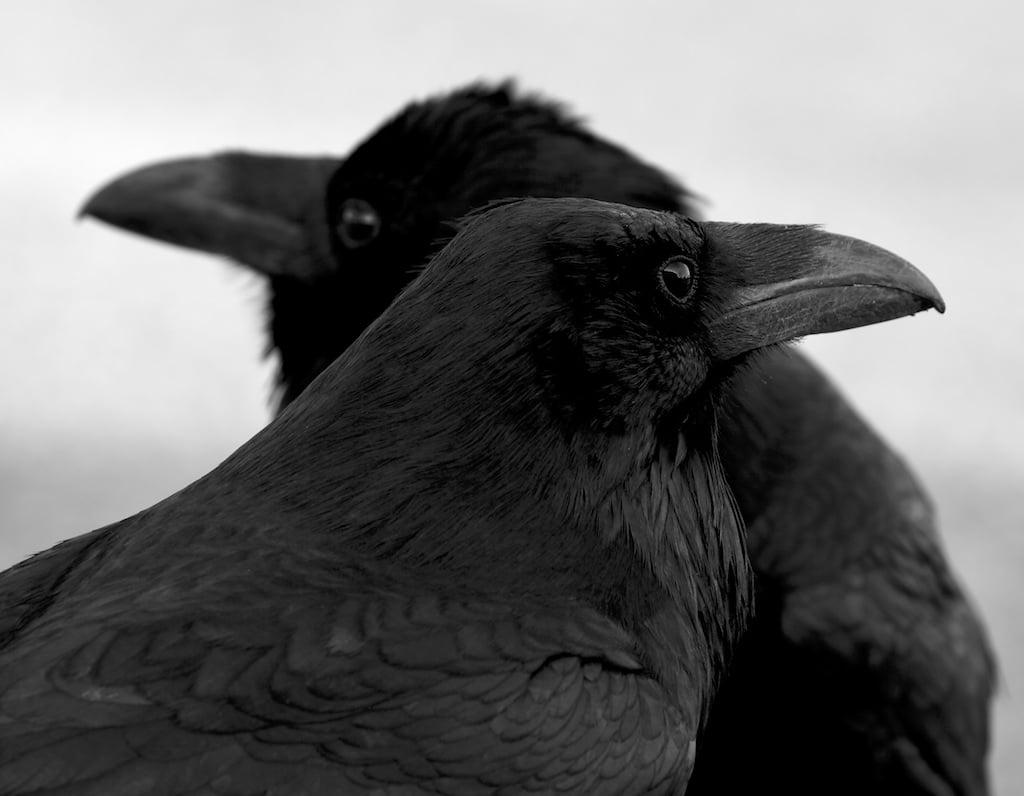Image of Ravens
