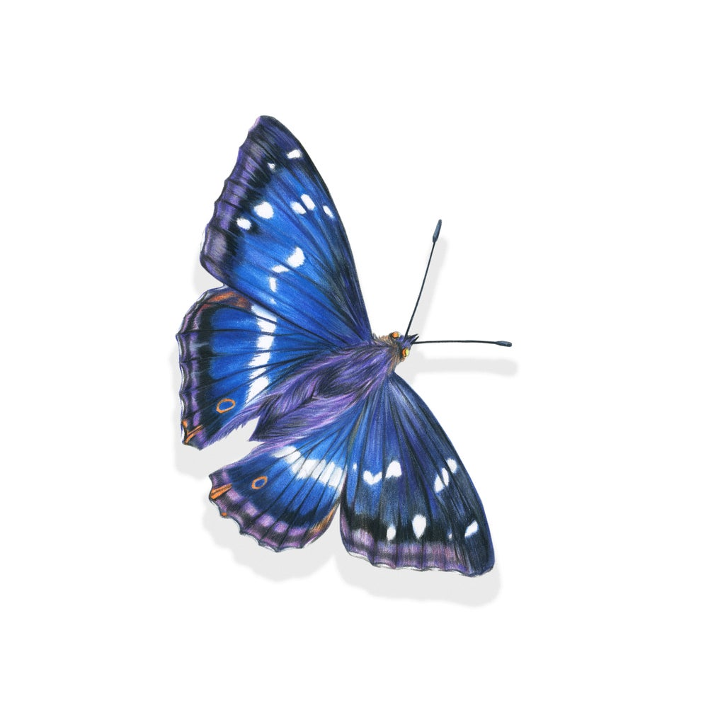 Image of 'Purple Emperor Butterfly' Limited Edition Print
