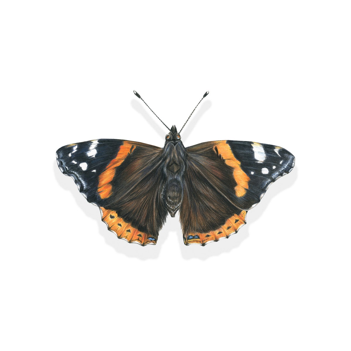Image of 'Red Admiral Butterfly' Limited Edition Giclee Print
