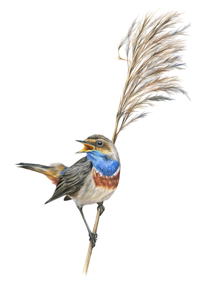 Image of 'Bluethroat' Limited Edition Print
