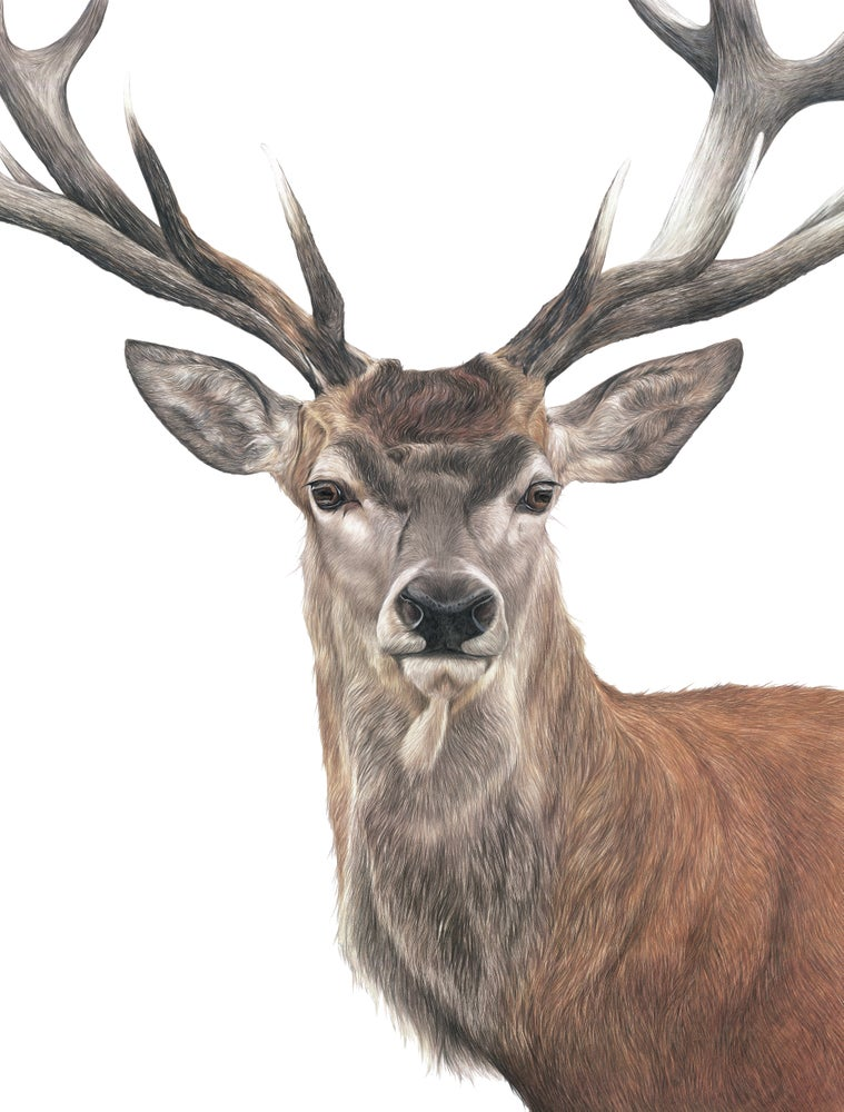 Image of 'Red Deer' Limited Edition Print