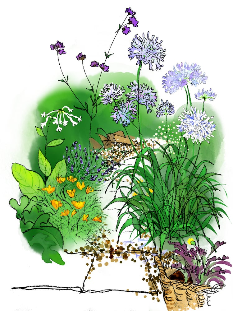 Image of Agapanthus