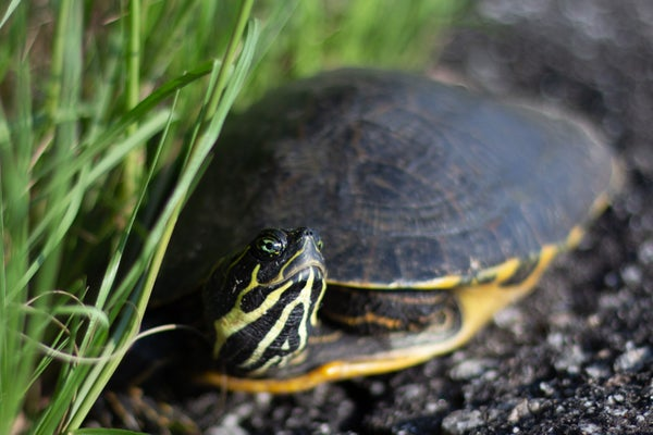 Image of Yellow Bellied Slider