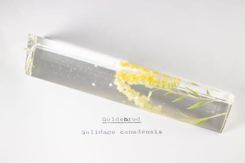 Image of Goldenrod (Solidago canadensis) - Suncatcher Prism #2