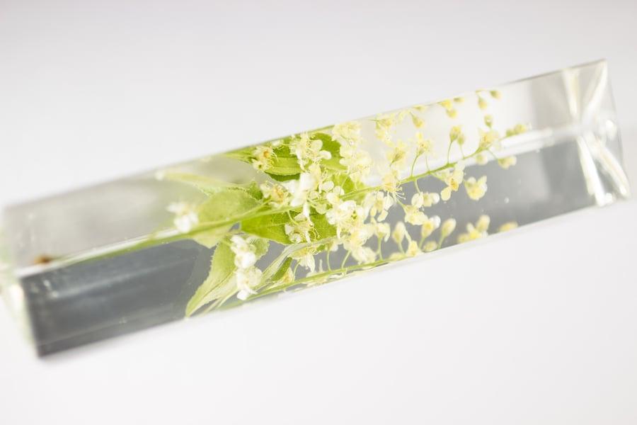 Image of Chokecherry (Prunus virginiana) - Suncatcher Prism #2