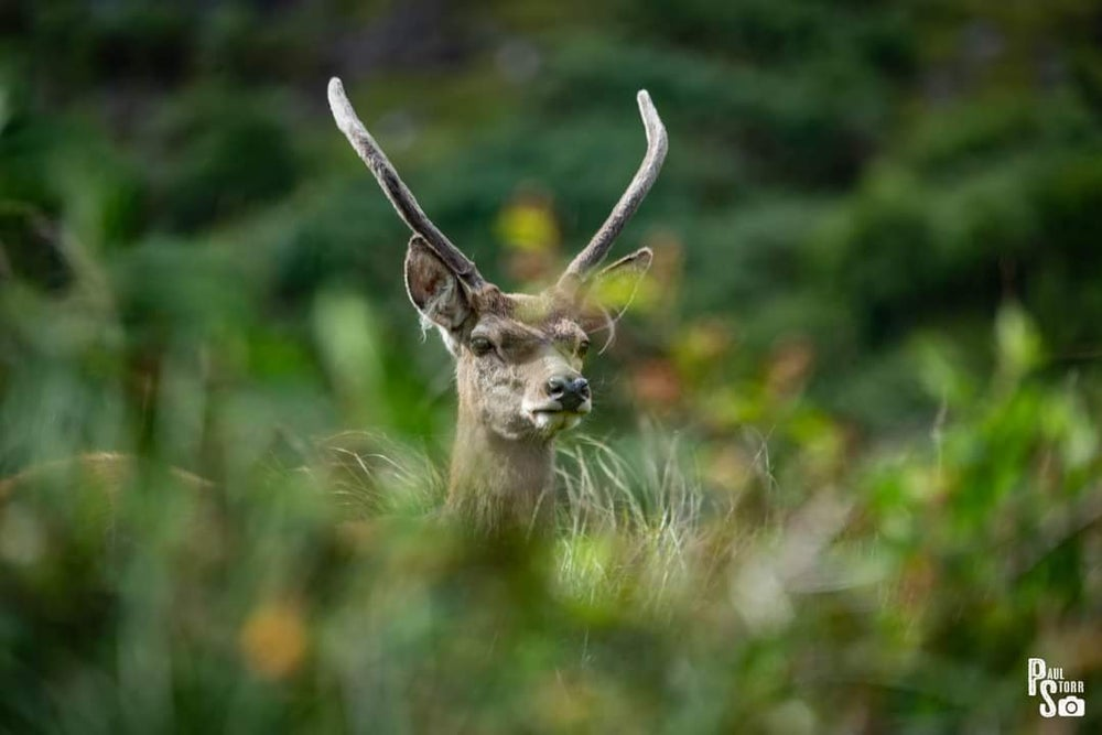 Image of Deer In Grass