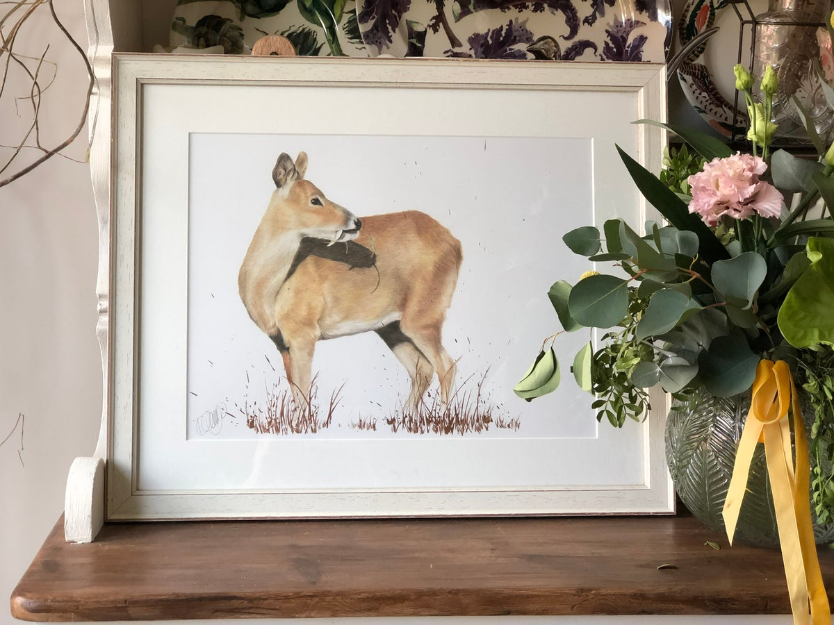 Image of Chinese Water Deer - Original