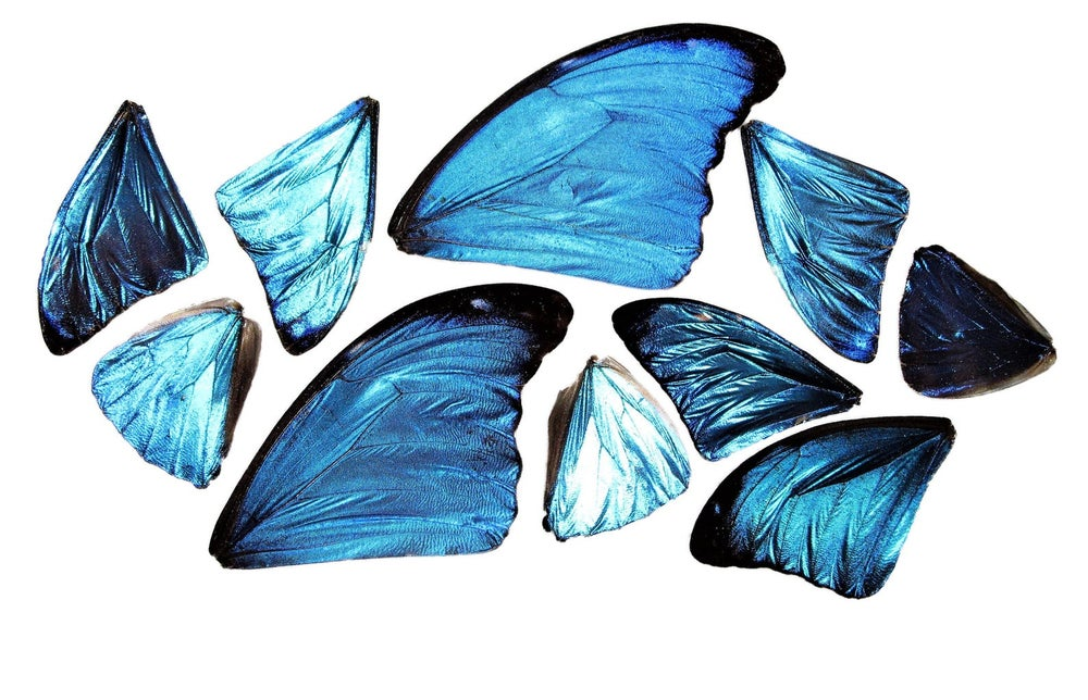 Image of 10 REAL Peruvian Blue Morpho Didius Butterfly Wings |