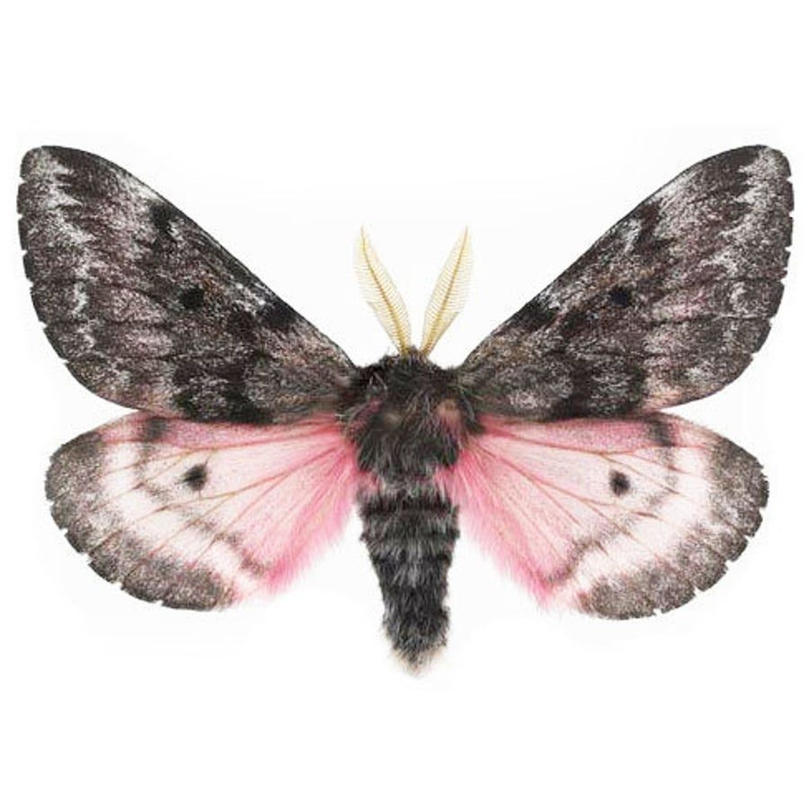 Image of Fuzzy, Pink, Pretty Moth (Luski Pink Saturn ♄ Moth)