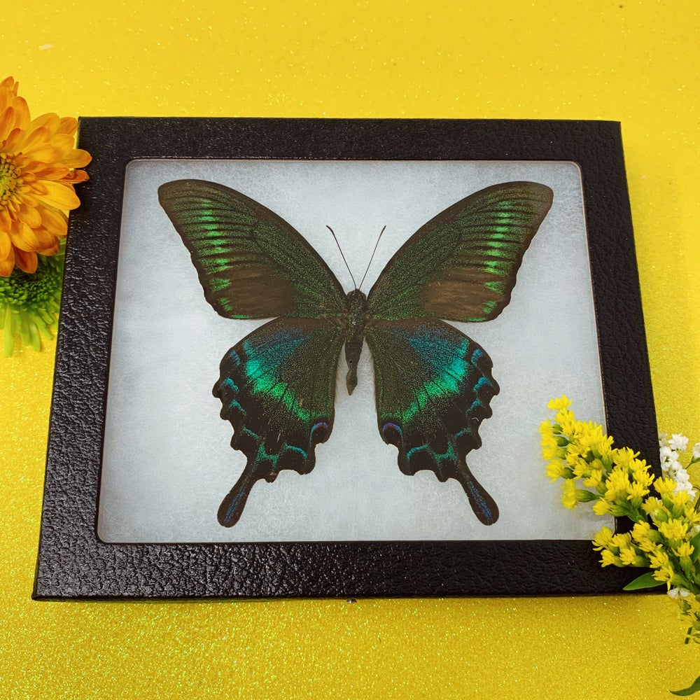 Image of Dark Butterfly of the Wild Woods (Papilio Maacki)