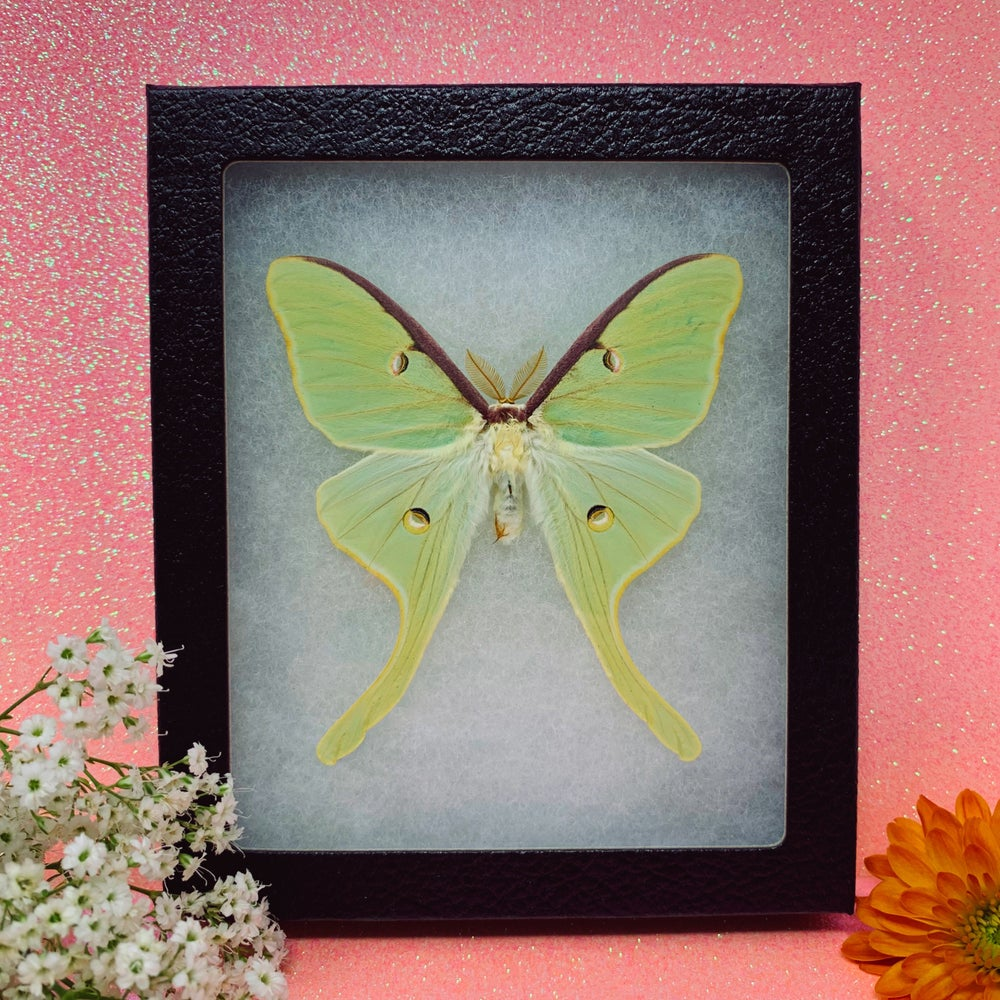 Image of Brilliant Green Luna Moth