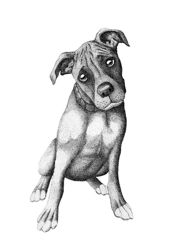 Image of Bashful Boxer