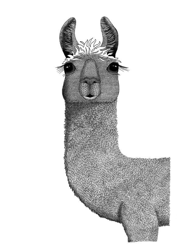 Image of Llama